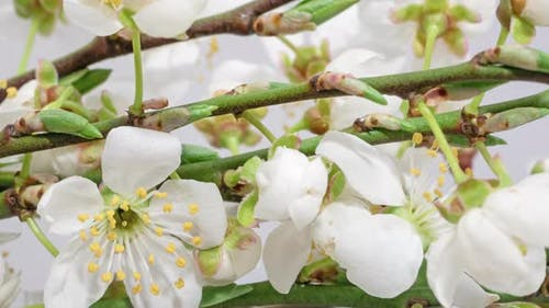 Apple Tree Blossom Timelapse on Black