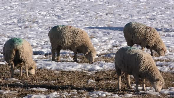 Sheep Several Eating Grazing in Winter Domestic Livestock Wool Agriculture