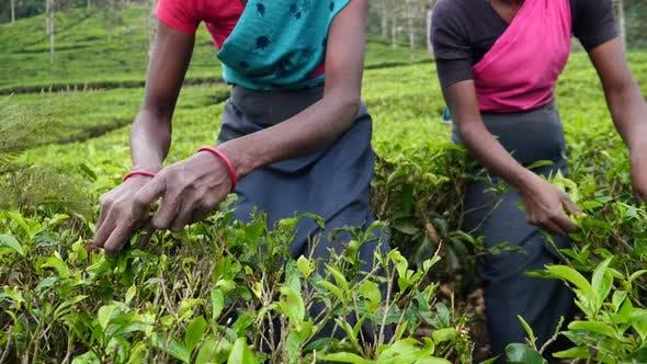 Thumbnail for Closeup Of Woman Hands Picking Tea Leaves On Ceylon Tea Plantation