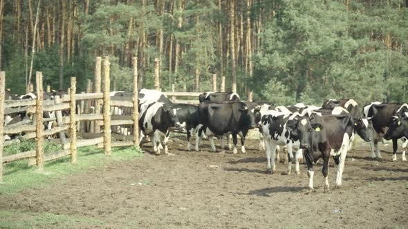 Thumbnail for Cows on a Pasture Farm