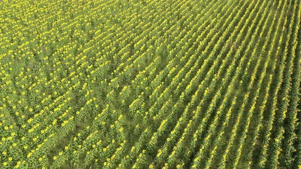Inspecting sunflower field crop from above 4K aerial footage