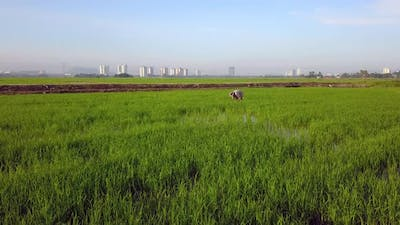Farmer transplant the paddy in the field