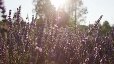 Lavender in the Sunset