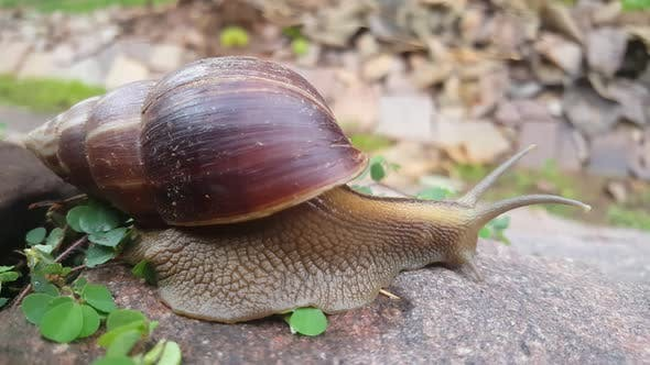 Thumbnail for Snail moving slowly on a rock