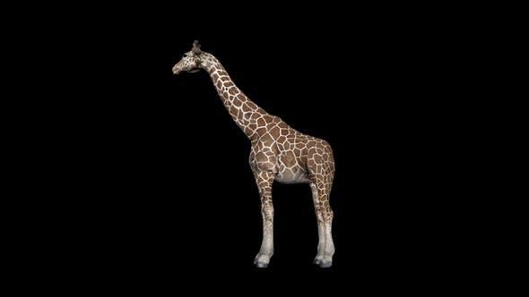 Thumbnail for Giraffe Eat