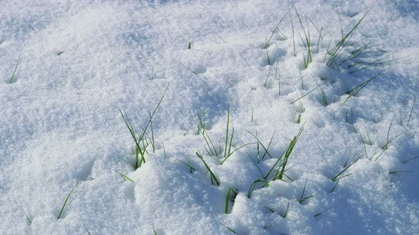 Winter snow on ground with spring grass sprouting up