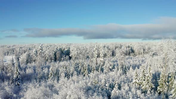 Flying Above Beautiful Snow Covered Forest in Cold Winter