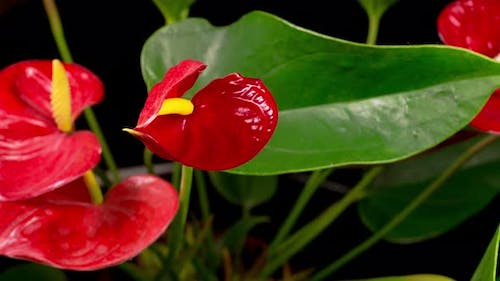 Time Lapse of Opening Red Anthurium Flower