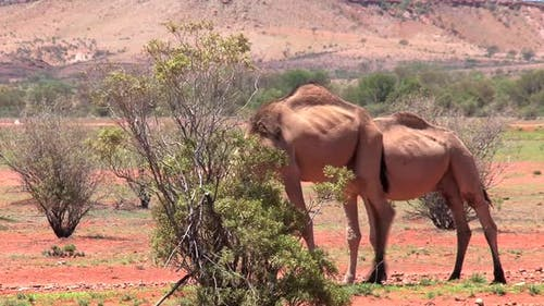 Two camels walking in the Outback