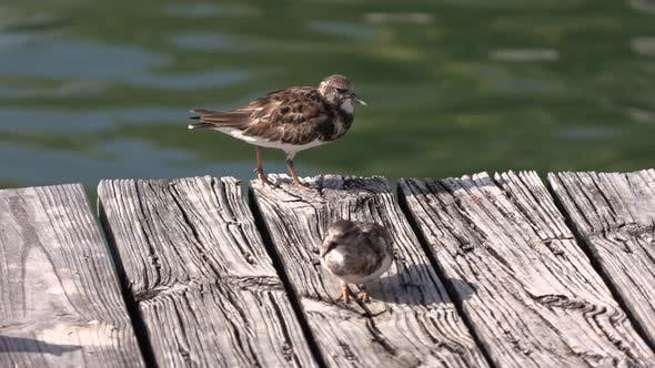Thumbnail for Ruddy Turnstone Pair Standing Looking Around in Winter Habitat Plumage Feathers Color On Bridge