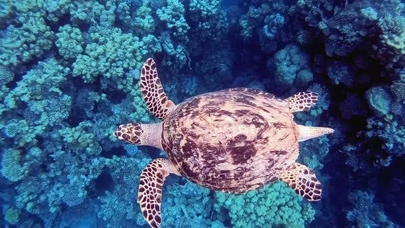 Thumbnail for Sea Turtle Swimming