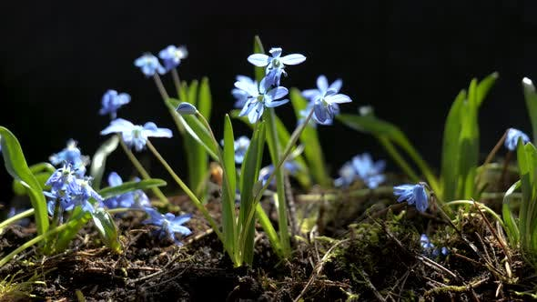 Beautiful Blooming Blue Flowers in Spring