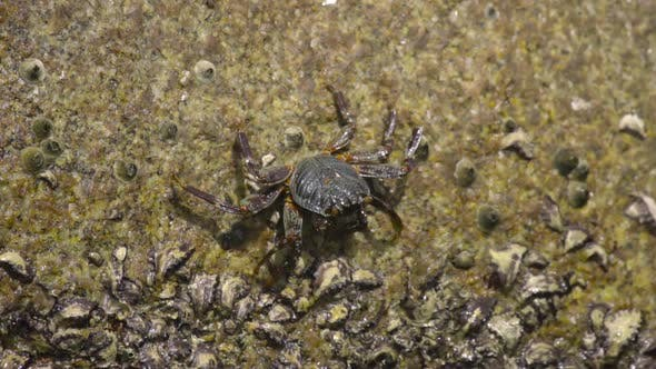 Thumbnail for Crab on the Rock at the Beach