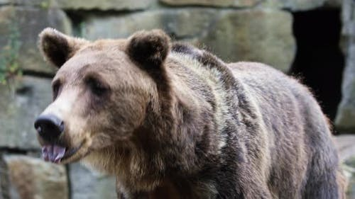 Big Brown Bear Against a Stone Wall in The Zoo