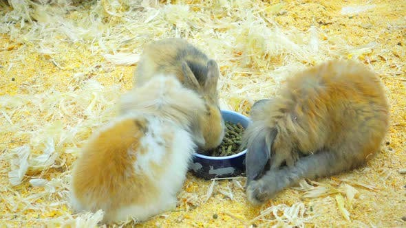 Thumbnail for Small Rabbits Eat and Have Fun in the Paddock