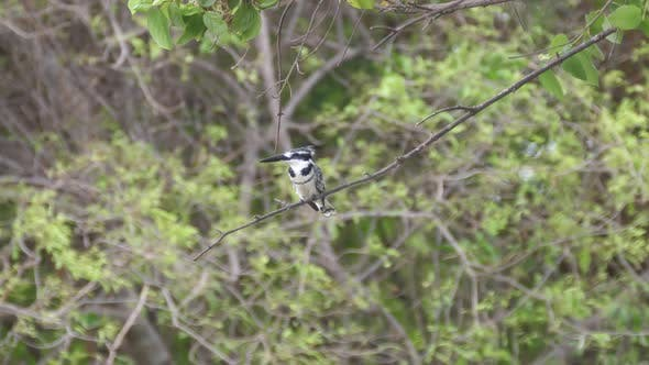 Thumbnail for Pied kingfisher on a branch at Bao Bolong Wetland Reserve