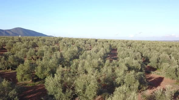Thumbnail for Olive trees with olives, aerial view. Andalusia, Spain