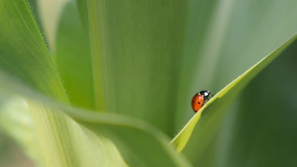 Thumbnail for Red Coccinellidae beetle close-up 4K 2160p 30fps UltraHD footage - Corn leaf and ladybug shallow DOF