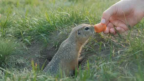 Thumbnail for The Gopher Crawls Out of the Hole and Grabs the Carrot From the Woman's Hands