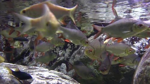 Herd of Carp Underwater