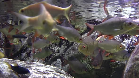 Thumbnail for Herd of Carp Underwater