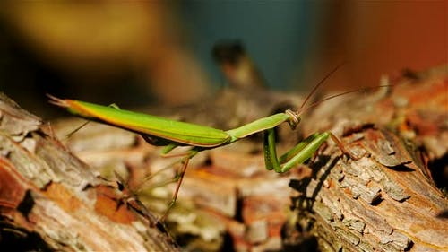 European mantis also named name praying mantis.