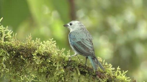 Blue-gray Tanager Bird Aggressive Intolerance in Jungle Rain Forest