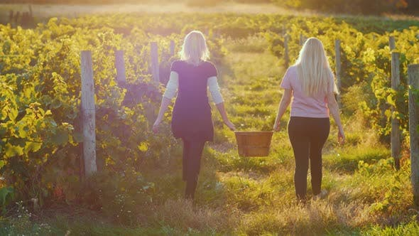 Cover Image for Rear View: Two Young Women Carry a Basket of Grapes, Go Between the Rows of Vineyards at Sunset