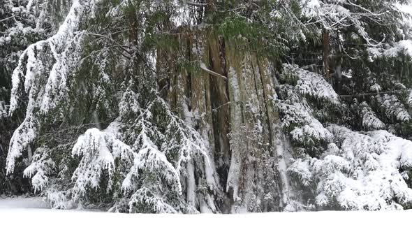 Thumbnail for Winter Forest - Old Spruce In Snow Fall