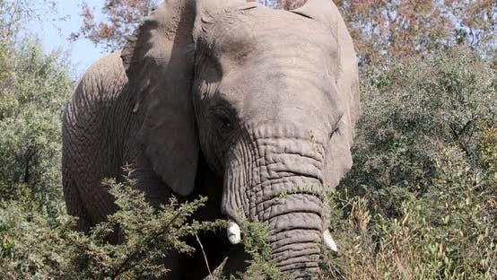 Elephant in Pilanesberg, South Africa wildlife safari
