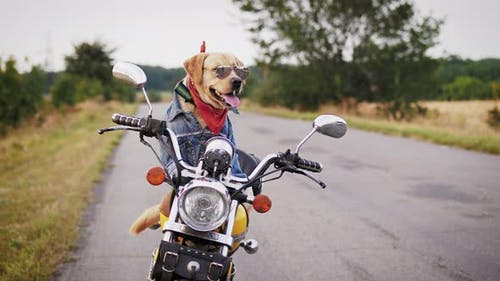 Trained Dog in Sunglasses is Sitting on a Motorcycle