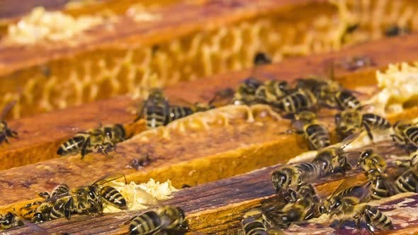 Thumbnail for A Lot of Bees Are Busy in the Hive