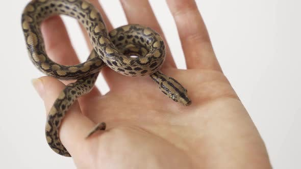 Biologist Researcher Holding in His Palm with Care a Small Smooth Snake (Coronella Austriaca)