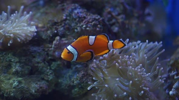 Thumbnail for Ocellaris Clownfisch im Wasser
