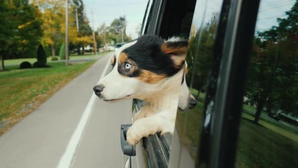 Cover Image for The Dog with Surprise and a Little with Fear Looks Out the Window of the Car