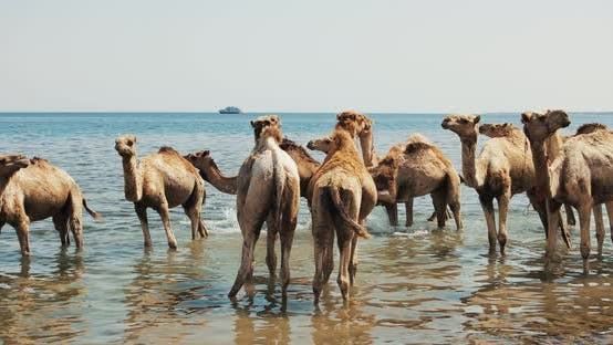 Thumbnail for Camels Crossing a River at Desert in Dahab