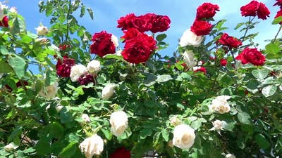 Red And White Ivy Roses In The Garden