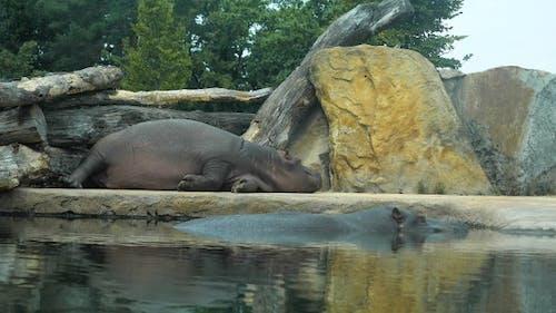 Hippopotamus sleeping in the aviary.