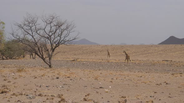 Giraffe family walking on a dry savanna