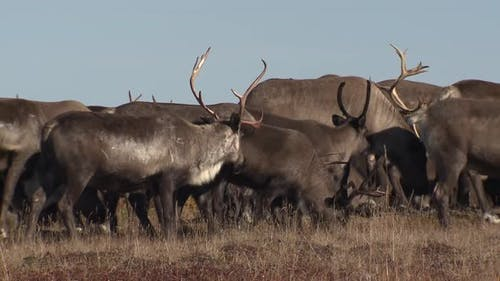 Caribou Male Female Adult Young Herd Many in Autumn Antlers Domestic