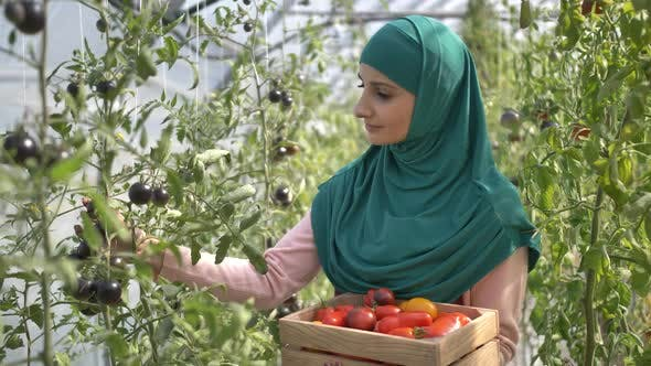 Thumbnail for Muslim Woman Worker Picking Tomatoes in Greenhouse