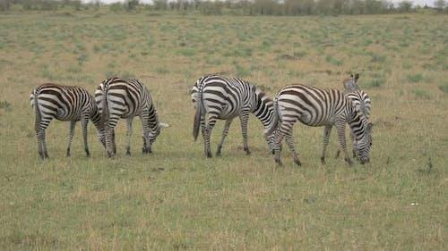 Zebras grazing in Maasai Mara