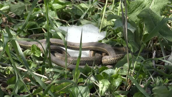 Wandering Garter Snake Male and Female Mating Sexual Reproduction in Spring with Snow on Ground