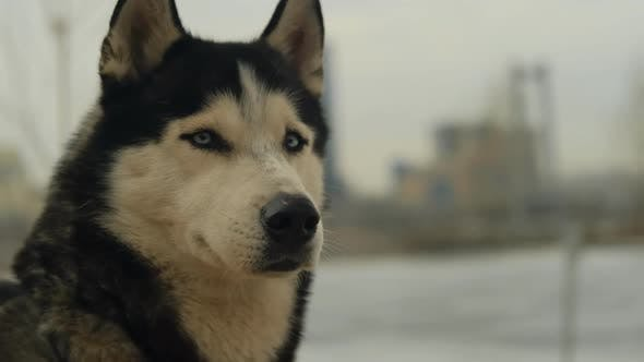 Thumbnail for Slow Motion Portrait of a Husky Dog
