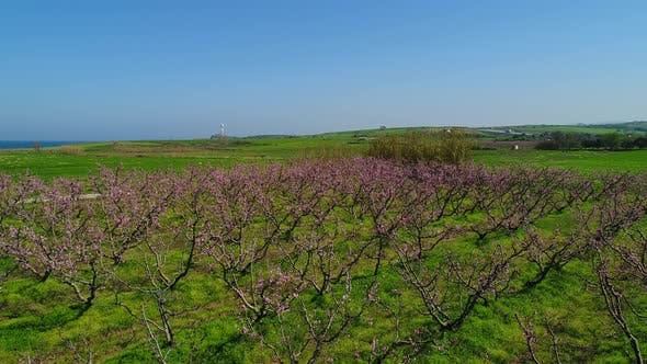 Thumbnail for Spring Flowering Trees