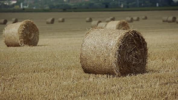 Little Boy In Field. Beautiful boy walking in a field with straw