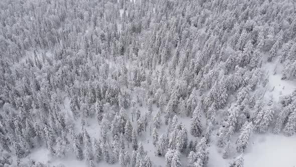 A Wonderful Winter Forest of Fabulous Beauty