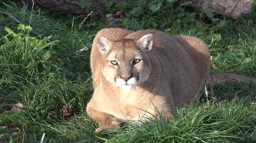 Mountain Lion Adult Lone Attacking Chasing Aggressive in Autumn Stealth Attack Predator