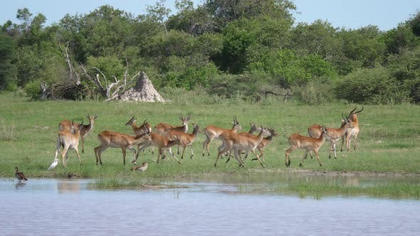 Thumbnail for A herd of antelope around a pond at Moremi Game Reserve