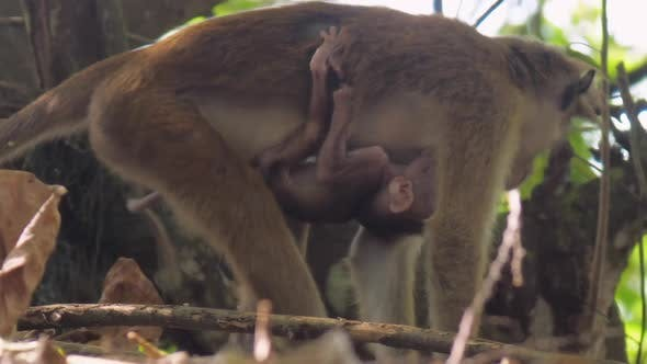 Beige Toque Macaque Stands on Limbs with Hanging Monkey